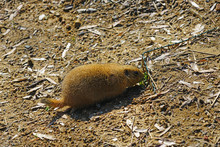 View Of A Black-tailed Prairie Dog