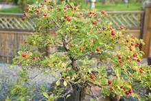 Hawthorn Bonsai In The Harvest...