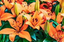 Beautiful Orange Lily In The G...