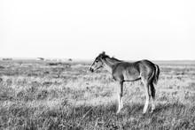 Little Cute Foal Standing On T...