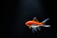 Goldfish In Aquarium With Blac...