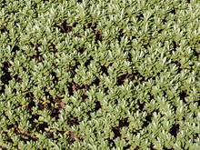 Gros Plan Sur Feuilles Vert Bleutées De Véronique Naine Avant Floraison Blanche (Hebe Pinguifolia)