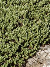 Hebe Pinguifolia 'pagei' | Véronique Naine Blanche Ou Hébé Naine Avant Floraison Printanière