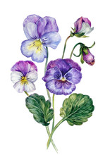 Watercolor Collection Of Colorful Violets