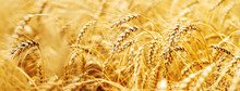Wheat Field. Ears Of Golden Wheat Close Up. Beautiful Nature Sunset Landscape. Background Of Ripening Ears Of Meadow Wheat Field. Banner With Copy Space, Rich Harvest Concept. Wallpaper..