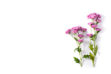 Violet Chrysanthemum Flowers Bouquet Isolated On White Background. Copy Space