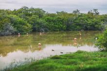 Galapagos Greater Flamingo Fee...