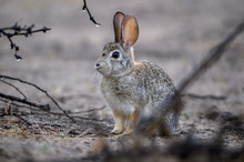 Desert Cottontail In The Brush