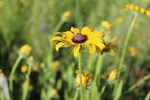 Black-eyed Susan Wildflower Bl...