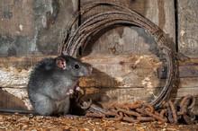 Black Rat (Rattus Rattus) Fora...