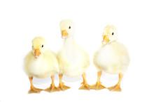 Three Yellow Goose On A White ...