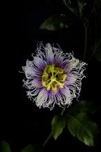 Passionflower On Black, Copyright Diana Koenigsberg 2019