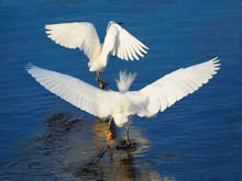 Snowy Egrets Fighting Over Ter...