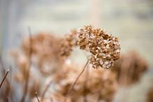 Dried Old Hydrangeas. Early Sp...
