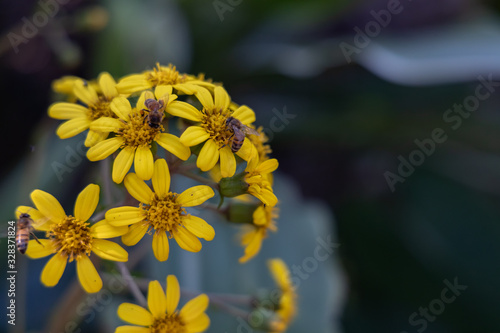 Yellow flowers cluster with bees, close-up