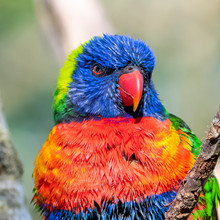 Coconut Lorikeet, Colorful Bird Perched On A Branch