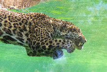 Jaguar Diving In The Water, Be...