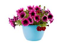 A Potted Purple Petunia Plante...