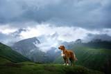Fototapeta Natura - Mountain landscape with a dog. A trip to Georgia. Pet on a background of beautiful nature. Nova Scotia Retriever on a trip