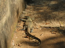 Coming Face To Face With A Lizard In A Park In South Africa