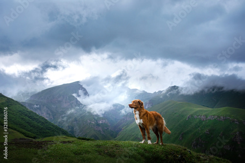 Fototapeta Mountain landscape with a dog. A trip to Georgia. Pet on a background of beautiful nature. Nova Scotia Retriever on a trip obraz