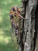 Newly Emerged Cicada In Summer