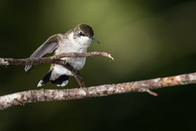 Ruby Throated Hummingbird Perc...