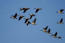 Flock Of Canada Geese Flying I...