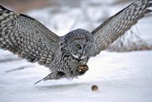 Hunting Great Grey Owl In Flig...