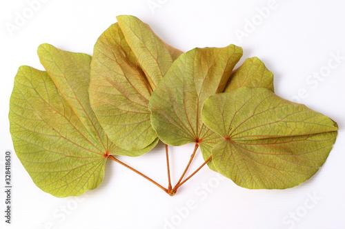 Green leaves of golden leaved liana (Bauhinia aureifolia K Billede på lærred