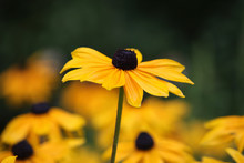 A Brown Eyed Susan Reaching For The Sky.