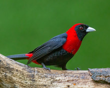 Crimson-collared Tanager - 9633