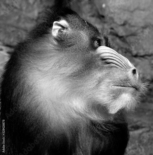 Vászonkép The mandrill (Mandrillus sphinx) is a primate of the Old World monkey (Cercopithecidae) family