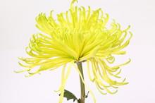 Chrysanthemum Anastasia Green ...