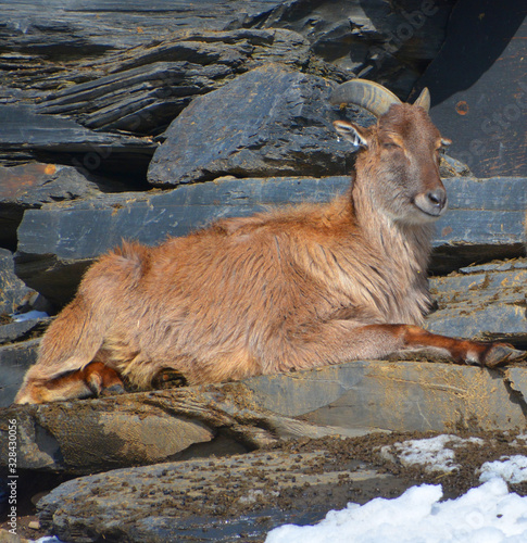 Photo Tahrs are a species of large Asian artiodactyl ungulates related to the wild goat
