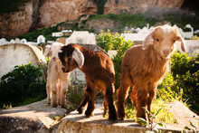 Domestic Baby Goats, Fes, Moro...