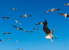 Birds In Flight In Essaouira, ...