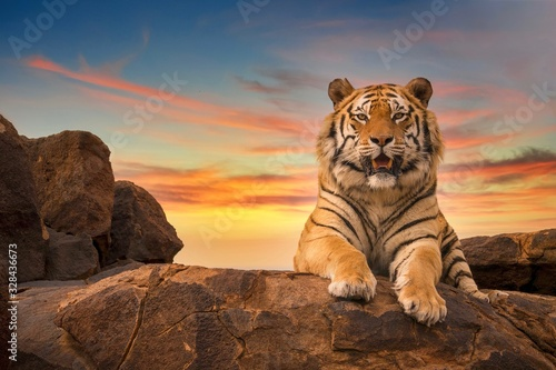 Photographie A solitary adult Bengal tiger (Panthera tigris) looking at the camera from the top of a rocky hill, with a beautiful sunset sky in the background