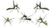 Devil Mantis Showing Wings Whi...