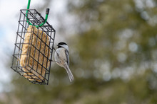 Suet Feeder With A Client Black Capped Chickadee Landscape