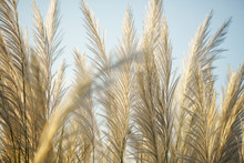Wind Blowing Reeds Flower At S...