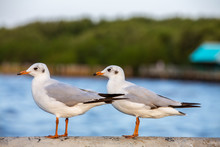 Two Seagulls Standing At Sukta...
