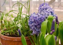 Purple Hyacinths In A Greenhou...