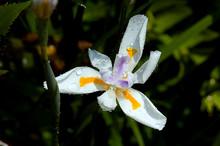 Dietes Grandiflora (large Wild Iris, Fairy Tale Iris) After Tropical Rain.