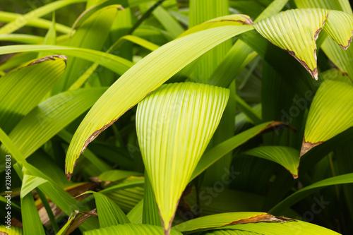 Palm grass plant Canvas Print