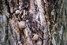 Many Snails On Tree Bark.