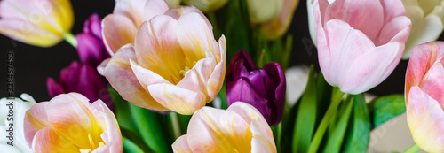 Obraz na plátně spring flowers banner, bunch of yellow and purple tulip flowers