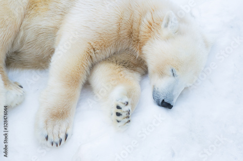 Fotografiet Funny polar bear. The polar bear is asleep. Sleeping white bear
