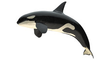 Isolated Killer Whale Orca Clo...