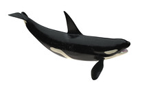 Isolated Killer Whale Orca Open Mouth  Tail Up 3d Rendering